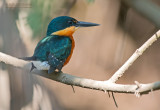 Groene Dwergijsvogel - American Pygmy Kingfisher - Chloroceryle aenea