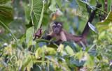 Bruine kapucijnaap - Tufted capuchin - Cebus apella
