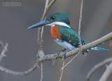 Groene IJsvogel - Green Kingfisher - Chloroceryle americana