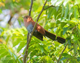 Eekhoornkoekoek - Squirrel Cuckoo - Piaya cayana