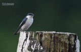 Witbuikzwaluw - White-winged Swallow - Tachycineta albiventer