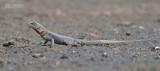 Kielstaartleguaan - Peter's lava Lizard - Tropidurus hispidus