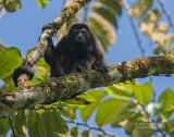 Mantelbrulaap - Mantled Howler Monkey - Alouatta palliata