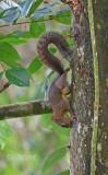 Surinaamse eekhoorn -Guianan squirrel  - Sciures aestuans