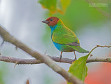 Okerkaptangare - Bay-headed Tanager - Tangara gyrola bangsi