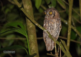 Cholibaschreeuwuil - Tropical Screech-Owl - Megascops choliba luctisonus