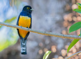 Goulds Trogon - Gartered Trogon - Trogon caligatus sallaei