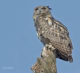 Oehoe - Eagle Owl - Bubo Bubo