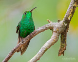 Koperkopsmaragdkolibrie - Coppery-headed Emerald - Elvira cupreiceps