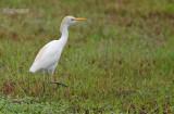 Koereiger - Cattle Egret - Bunulcus Ibis