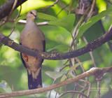 Cassins Duif - Grey-chested Dove - Leptotila cassinii