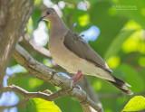 Verreaux' Duif - White-tipped Dove - Leptotila verreauxi