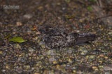 Roetnachtzwaluw - Blackish Nightjar -  Nyctipolus nigrescens