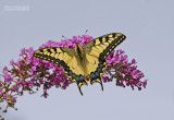 Koninginnenpage - Swallowtail - Papilio machaon
