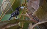 Antbirds
