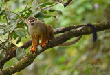 Grijsgroen doodshoofdaapje - Common squirrel monkey - Saimiri sciureus