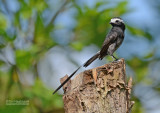 Langstaarttiran - Long-tailed Tyrant - Colinia colonus