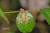 Polka dot Treefrog - Hypsiboas punctatus