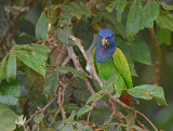 Zwartoormargrietje - Blue-headed Parrot - Pionus menstruus