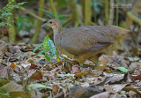 Grote tinamoe - Great Tinamou - Tinamus major castaneiceps