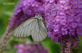 Groot geaderd witje - Black Veined White  - Aporia crataegi
