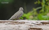 Musduif - Common Ground Dove - Columbina passerina