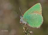 Groentje - Green hairstreak - Callophrys rubi