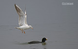 Kokmeeuw - Black-headed gull - Larus ridibundus and  Meerkoet - Coot - Fulica atra