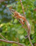 Grote gevlekte boomeekhoorn - Variegated Squirrel - Sciurus variegatoides