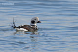IJseend - Long-tailed duck - Clangula hyemalis