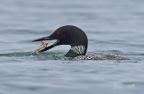 IJsduiker - Great Northern Loon or Common Loon - Gavia immer