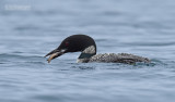 IJsduiker - Great Northern Loon or Common loon- Gavia immer