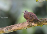 Steenduif - Ruddy Ground Dove - Columbina talpacoti