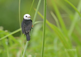 Witkopwatertiran - White-headed Marsh Tyrant - Arundinicola leucocephala