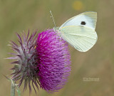 Groot Koolwitje - Large White  - Pieris brassicae