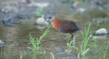 Witkeeldwergral - White-throated Crake - Laterallus albigularis cinereiceps