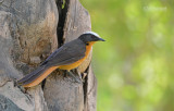 Schubkaplawaaimaker - White crowned Robin-Chat - Cossypha albicapillus