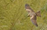 Zwarte wouw - Black kite - Milvus migrans