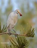 Koereiger - Western Cattle Egret - Bunulcus Ibis