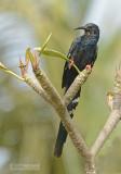 Groene kakelaar - Green Wood-hoopoe - Phoeniculus purpureus