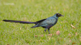 Groene langstaartglansspreeuw - Long-tailed Glossy Starling - Lamprotornis caudatus