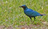 Bronsstaartglansspreeuw - Bronze-tailed Glossy Starling - Lamprotornis chalcurus