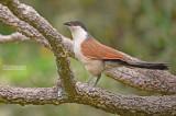 Senegalese Spoorkoekoek - Senegal Coucal - Centropus senegalensis