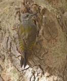 Grijze Specht - Grey woodpecker - Mesopicos goertae goertae