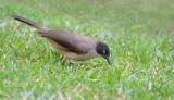 Zwartkapbabbelaar - Blackcap babbler - Turdoides reinwardtii