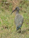 Hadada ibis - Hadada Ibis - Bostrychia hagedash
