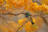 Roodbuikhoningzuiger - Variable Sunbird - Cinnyris coccinigastrus