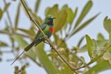 Feeënhoningzuiger - Beautiful Sunbird - Cinnyris pulchellus