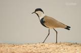 Sporenkievit - Spur-winged Plover - Vanellus spinosus