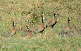 Witwang fluiteend - White-faced whistling duck - Dendrocygna viduata